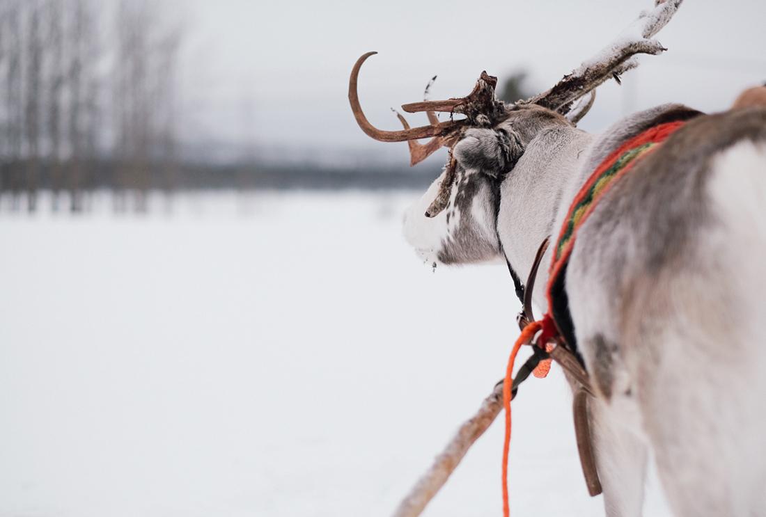 Laponie11 le chien taches - Le chien a taches ...