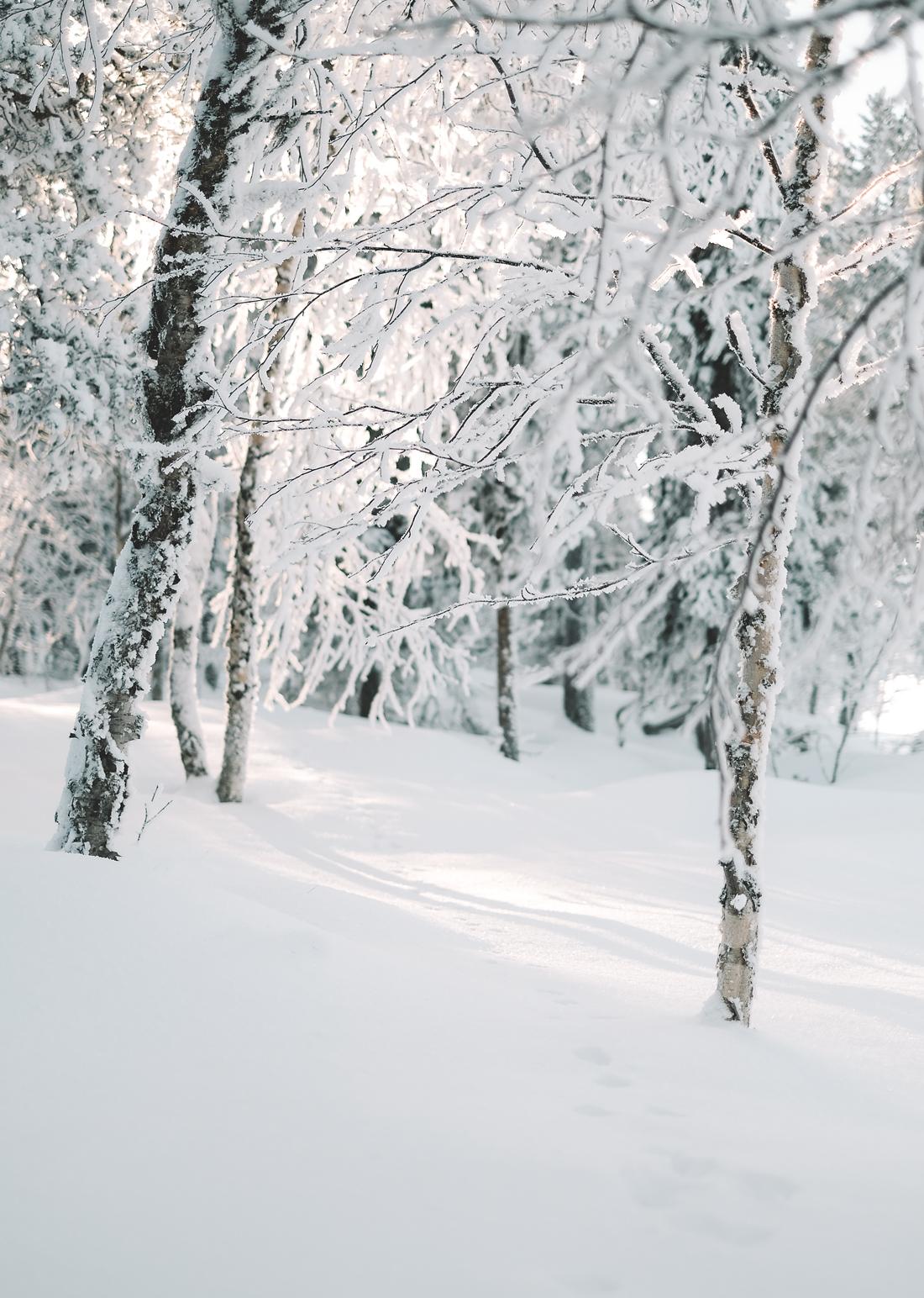 laponie-paysage- foret